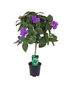 - trunk pot 19 cm