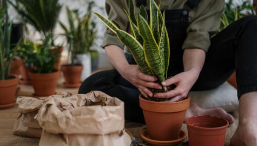 Kaufen Sie hochwertige Zimmerpflanzen online