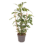 Monstera Minima - gaten plant