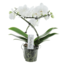 Phalaenopsis Balletto Wing 2spike