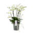 Phalaenopsis Bellissimo Bella