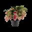 Medinilla Dolce Vita XXL 10+ Knopf Chef Fleur 3 Etage