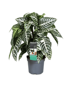 Squarrosa - Plante zébrée