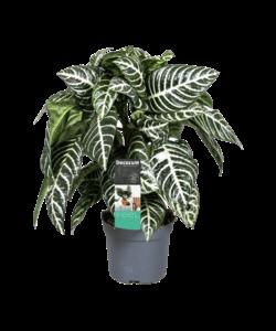 Squarrosa - Zebra Pflanze