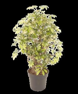 Arboricola Trinette - Umbrella tree