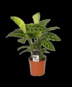 Zebrina - Pauwenplant, bidplant