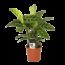 Calathea Zebrina - Topf 14 cm