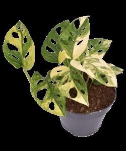 Adansonii Aurea panachée (TRÈS RARE)