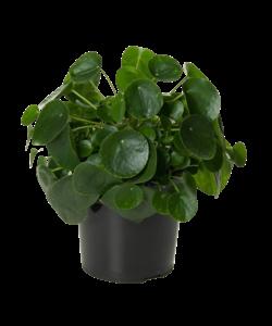 Peperomioides (pannenkoekenplant) XL