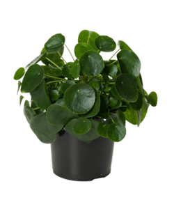 Peperomioides (plante à monnaie chinoise) XL