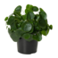 Pilea Peperomioides (Chinese money plant) XL