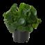 Pilea Peperomioides (Pfannkuchenpflanze) XL
