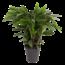 Calathea Elgergrass XL - pot 27 cm