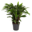 Calathea Elgergrass XL - Topf 27 cm