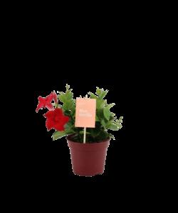 'Zomerville' struik - Chileense Jasmijn