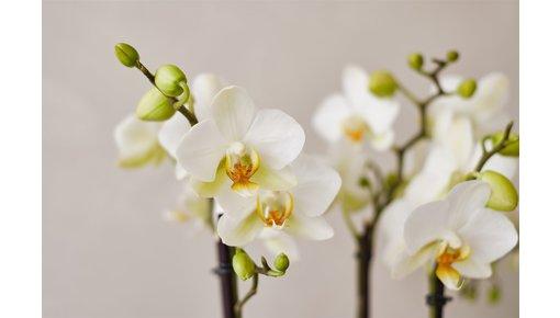Alles, was Sie über die Orchidee wissen müssen
