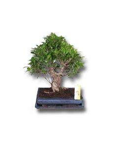Ficus retusa - Topf 35 cm