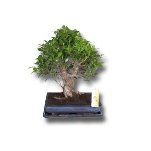 Bonsai Ficus retusa in ceramic pot + saucer