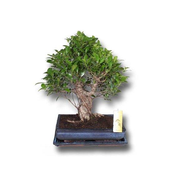 Bonsai Ficus retusa in keramiek pot + schotel
