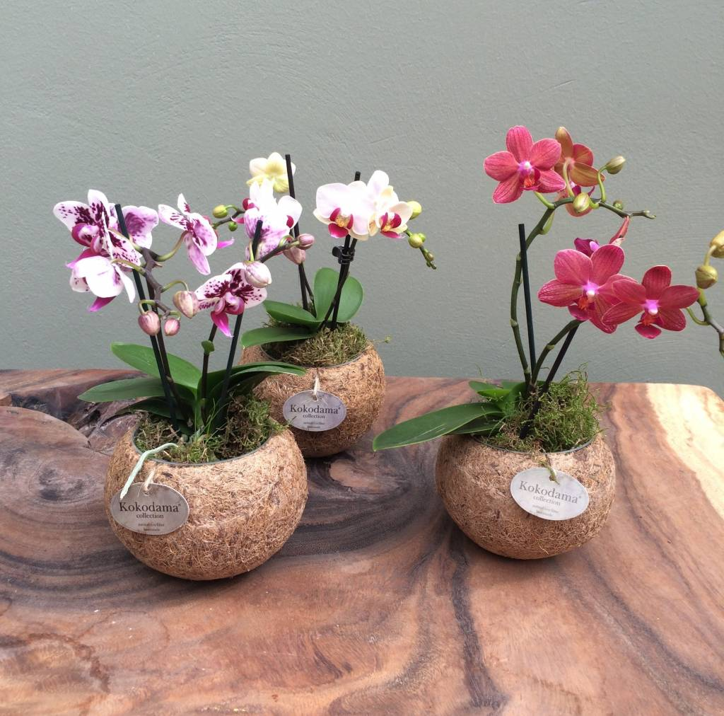 mini orchideen