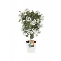 Solanum jasminoides op Stam (ton sur ton)