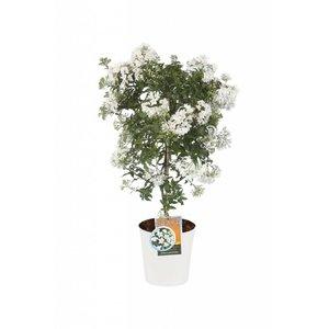 Solanum jasminoides sur tige (ton sur ton)