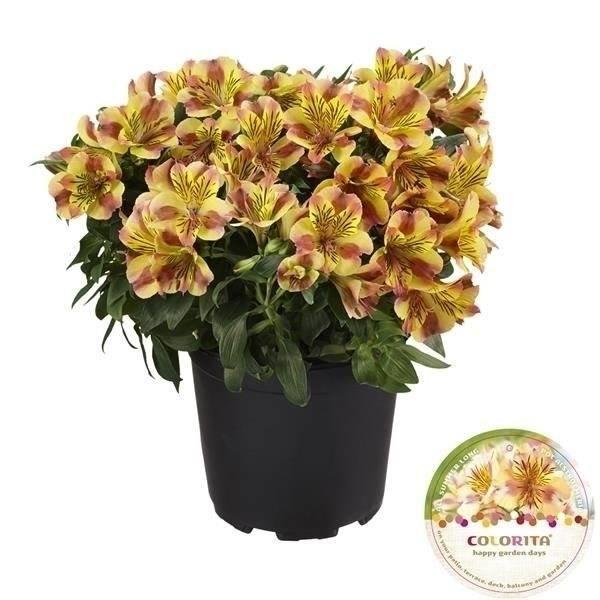 Alstroemeria Colorita® geel - Pot 19 cm
