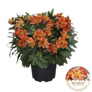 Alstroemeria Colorita® oranje - Pot 19 cm