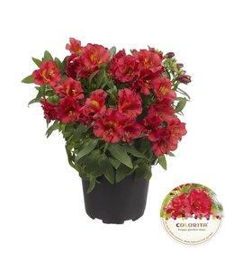 Colorita® rouge - Pot 19 cm