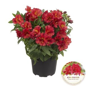 Alstroemeria Colorita® rood - Pot 19 cm
