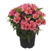 Alstroemeria Colorita® pink - Pot 19 cm