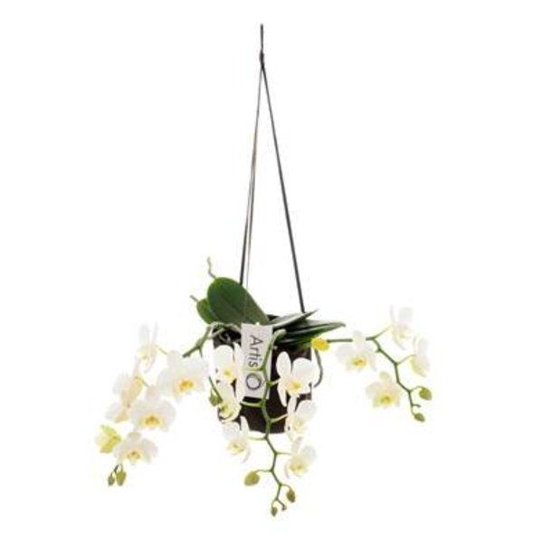 Phalaenopsis Artisto Nouveau 3 tak