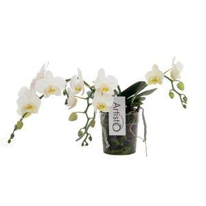 Phalaenopsis Artisto Nouveau - 3 tak