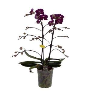 Phalaenopsis Morelia 2 tak