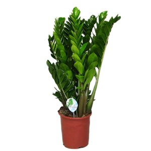 Zamioculcas With 12 springs