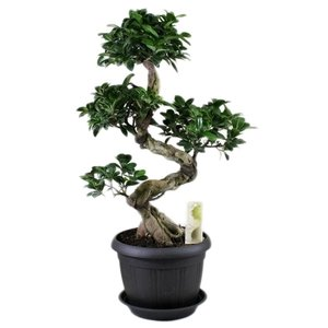 Bonsai Ficus ginseng S-shape in antraciet  + schotel
