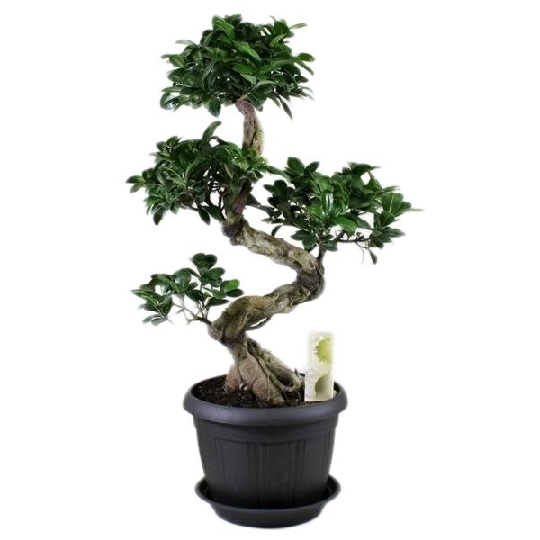 Bonsai Ficus ginseng S-shape in anthracite + saucer
