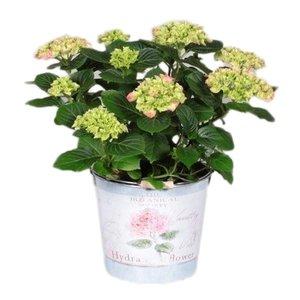 Hydrangea  Rose 7 -12 fleurs dans un seau