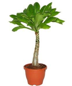 Brighamia (Hawaiian Palm) XL