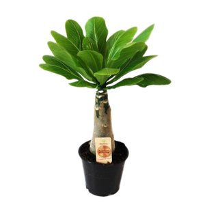 Brighamia Insignis Palm - Hawaii