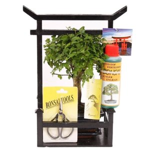 Bonsai Carmona, starter kit 15cm in torri