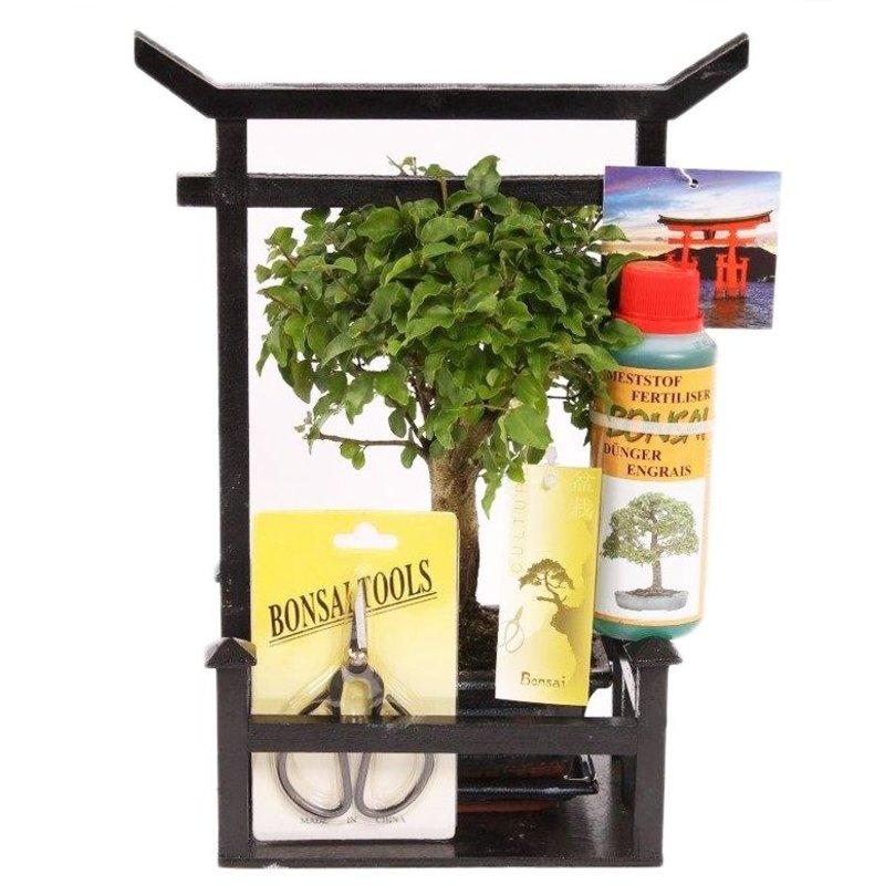 Bonsai Starterkit Ondergebracht In Een Torii Florastore