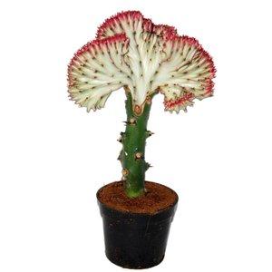 Euphorbia Lactea 'Cristata Rode rand
