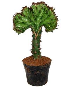 Lactea « Cristata vert - Euphorbe maritime/Cowboy Cactus