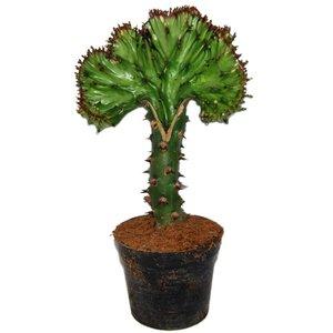 Euphorbia Lactea 'Cristata Green