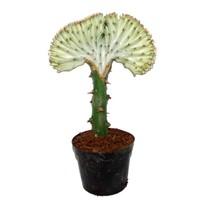 Euphorbia Lactea « Cristata gris