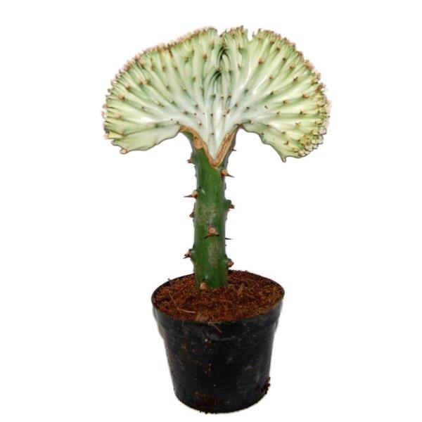 Euphorbia Lactea 'Cristata Grijs