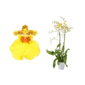Orchideeën Oncidium Munsterland Stern