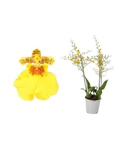 Oncidium Munsterland Stern XL