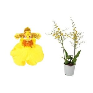 Orchideeën Oncidium Münsterland Stern XL